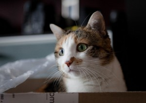 Why Do Cats Love Boxes - Theory #3: Body Temperature